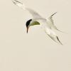forster's tern in flight, port aransas, texas