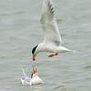 forster's tern feeding chick, port aransas, texas