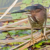 green heron south padre island, texas