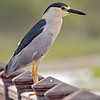 black-crowned night heron on railing, south padre island, texas