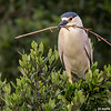 black-crowned night heron with nesting material, south padre island, texas