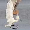 reddish egrets fighting, south padre island, texas