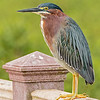 green heron on railing, south padre island, texas