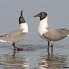 laughing gull pair courtship, south padre island, texas