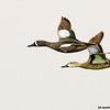 blue-winged teal pair in flight, port aransas, texas