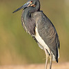tricolored heron, south padre, texas