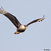 crested caracara in flight, port aransas, texas