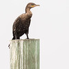 neotropic cormorant, south padre island, texas