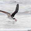 black skimmer skimming, bolivar shores, texas