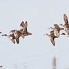 blue and green-winged teal in flight, port aransas, texas