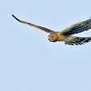 northern harrier in flight, port aransas, texas