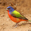 painted bunting male, roma, texas