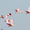 roseate spoonbills in flight, port aransas, texas