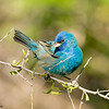 indigo bunting male, south padre, texas