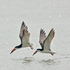 black skimmer pair in flight, port aransas, texas
