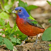 painted bunting male, south padre, texas