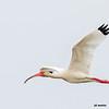 white ibis in flight, port aransas, texas