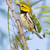 black-throated green warbler, south padre, texas