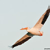 white pelican in flight, port aransas, texas