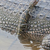 young american alligator on mother's back, south padre, texas