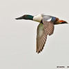 northern shoveler drake in flight, port aransas, texas