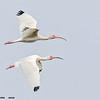 white ibis pair in flight, port aransas, texas