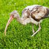 white ibis juvenile, port aransas, texas