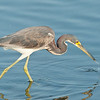 tricolored heron stalking, south padre, texas