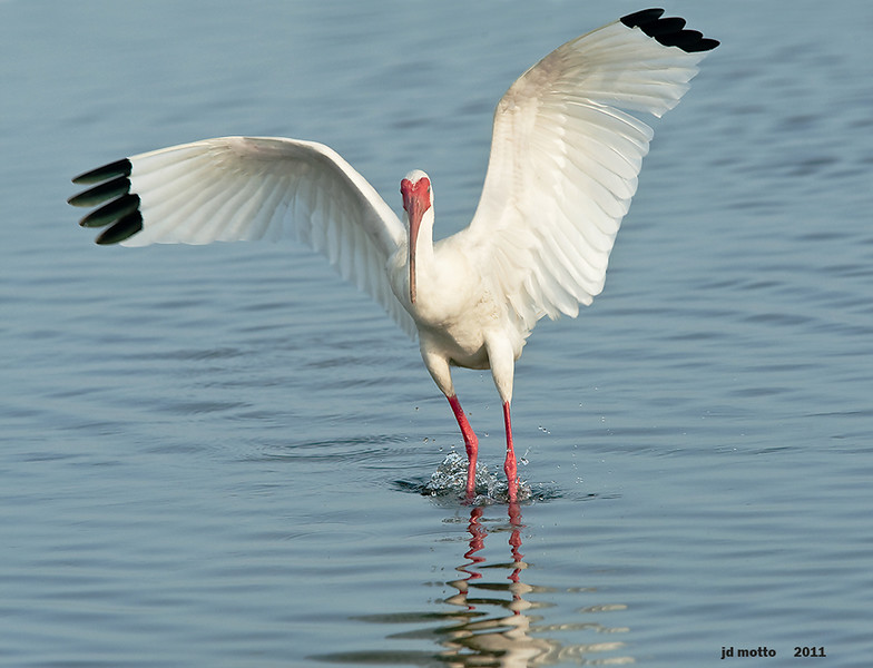 white ibis wingspread, south padre, texas