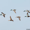 northern shovelers in flight, port aransas, texas