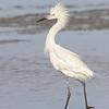 reddish egret, white morph, south padre island, texas
