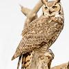 great horned owl, tucson arizona (c)