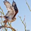 ferruginous hawk takeoff, tucson az (c)