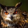 eurasian eagle owl, boulder colorado (c)