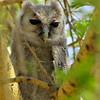 giant eagle owl, botswana, africa