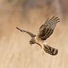 northern harrier hovering, bosque del apache, nm