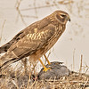 northern harrier on coot, bosque del apache, nm