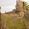 great horned owl in flight, tucson arizona (c)