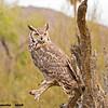 great horned owl. tucson arizona (c)