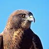 swainson's hawk (c)