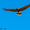 harris's hawk in flight, tucson az (c)