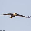 crested caracara in flight, port aransas, texas
