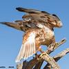 ferruginous hawk, tucson az (c)