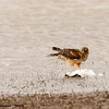 northern harrier on snow goose, bosque del apache, nm