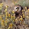 short-eared owl, boulder colorado (c)