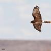 northern harrier in flight, bosque del apache, nm