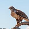 ferruginous hawk, tucson, az (c)