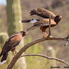 harris's hawk family, tucson az (c)