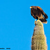 harris's hawk on saguaro, tucson, az (c)