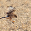 northern harrier with wood block, bosque del apache, nm